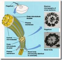 flagellum