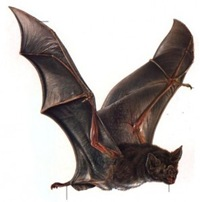 Vampire Bat
